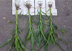 Root Growth And Height Comparison