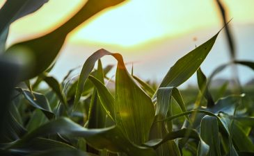 WellCrop: Increasing Maize Yields By 40%