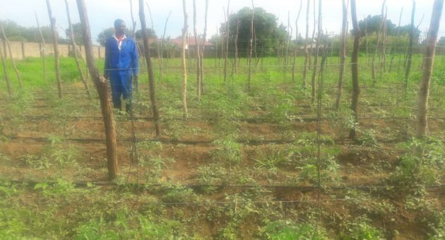 Using traditional chemical fertilizer, Chris' tomato field  often ends up with a lack of Grade A Tomatoes